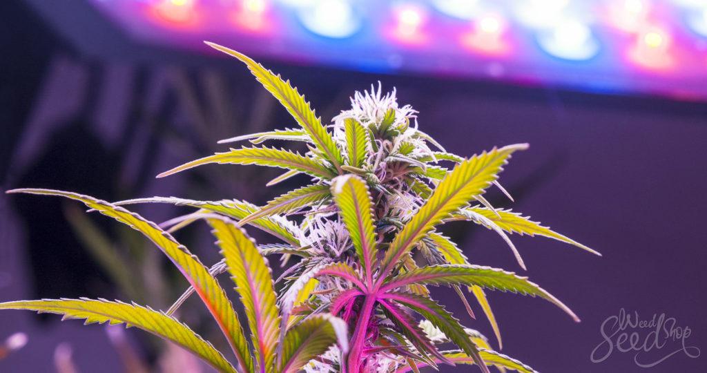 Top 10 Best LED Grow Lights on The Market - WeedSeedShop