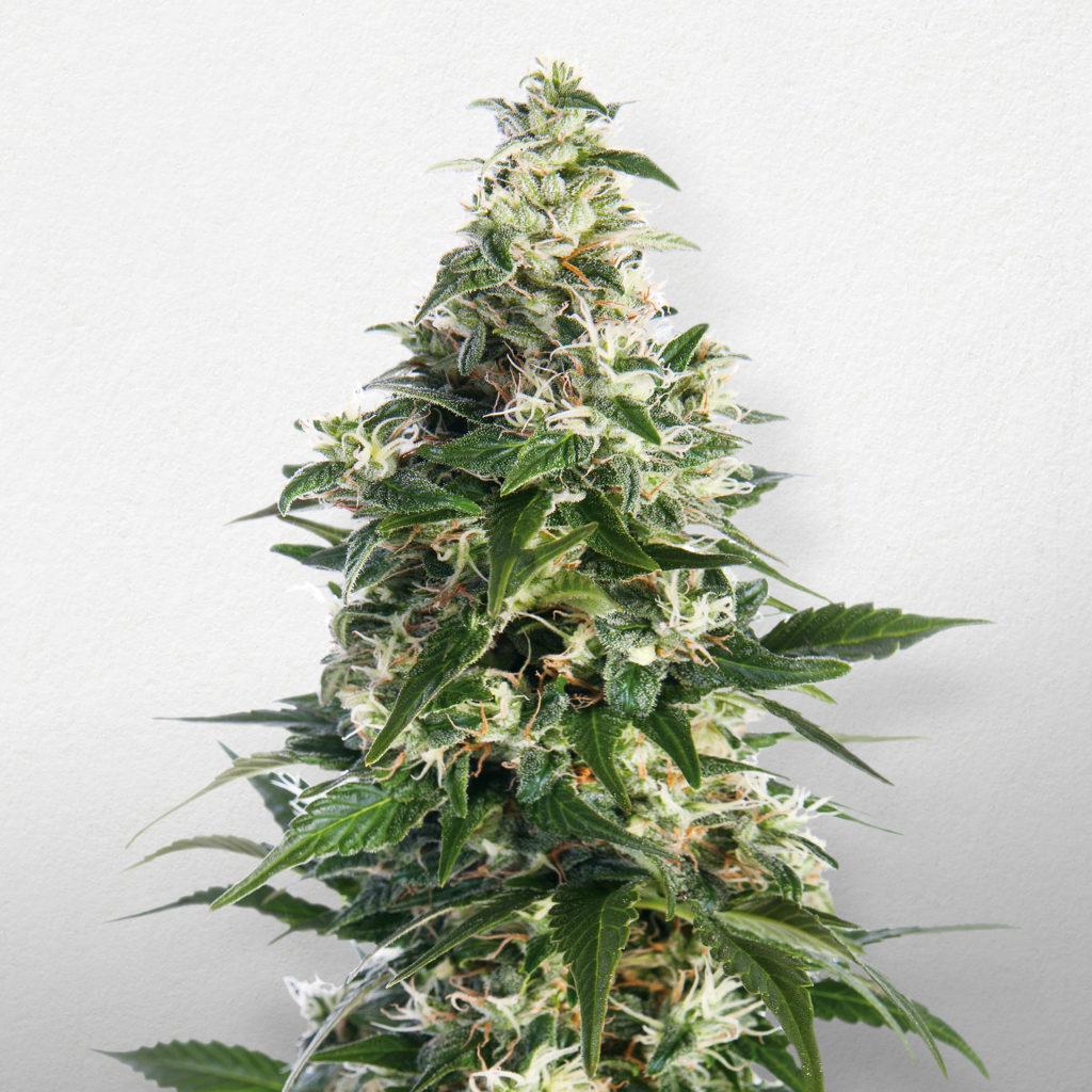Top 10 vari t s de cannabis pour culture en int rieur for Cultivation de cannabis interieur