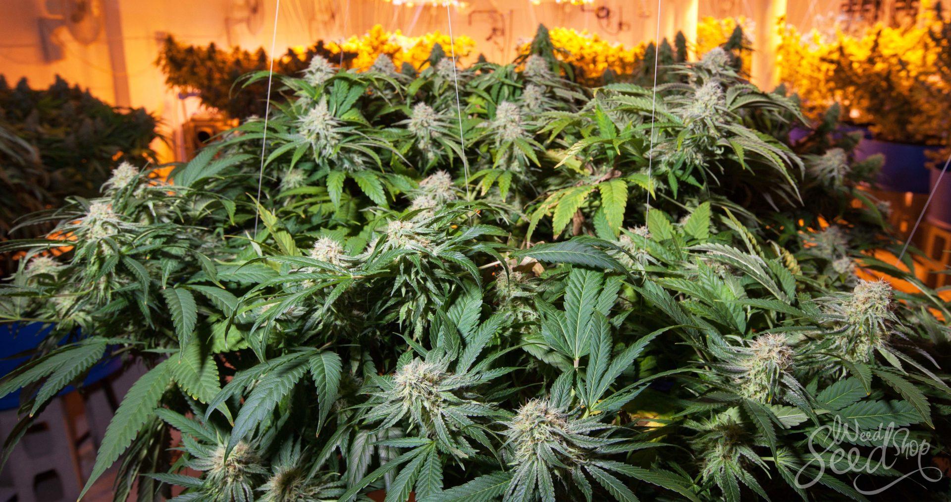 Les 10 meilleures variétés de cannabis à faire pousser en intérieur