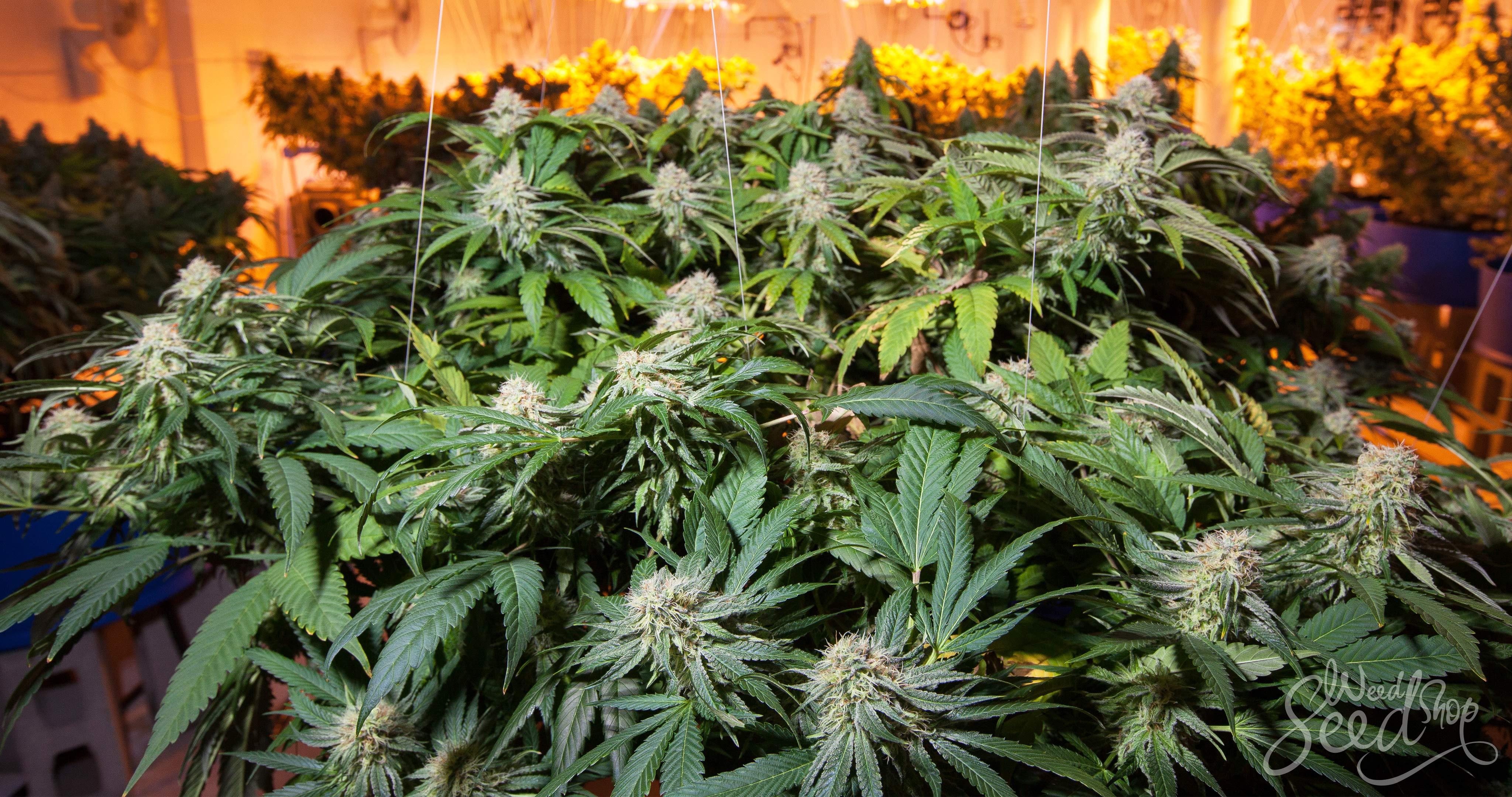 Top 10 variétés de cannabis pour culture en intérieur