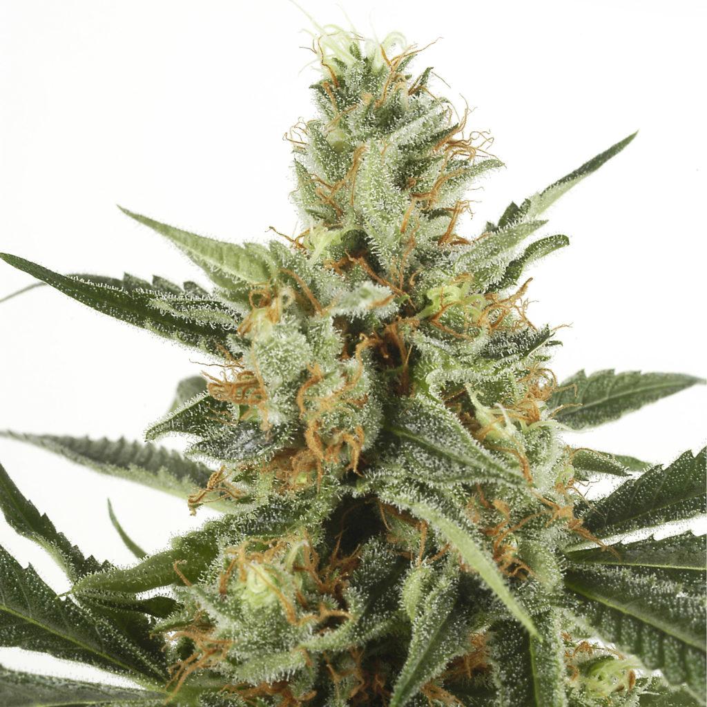 Die 10 besten Cannabis Sorten für den Innenanbau