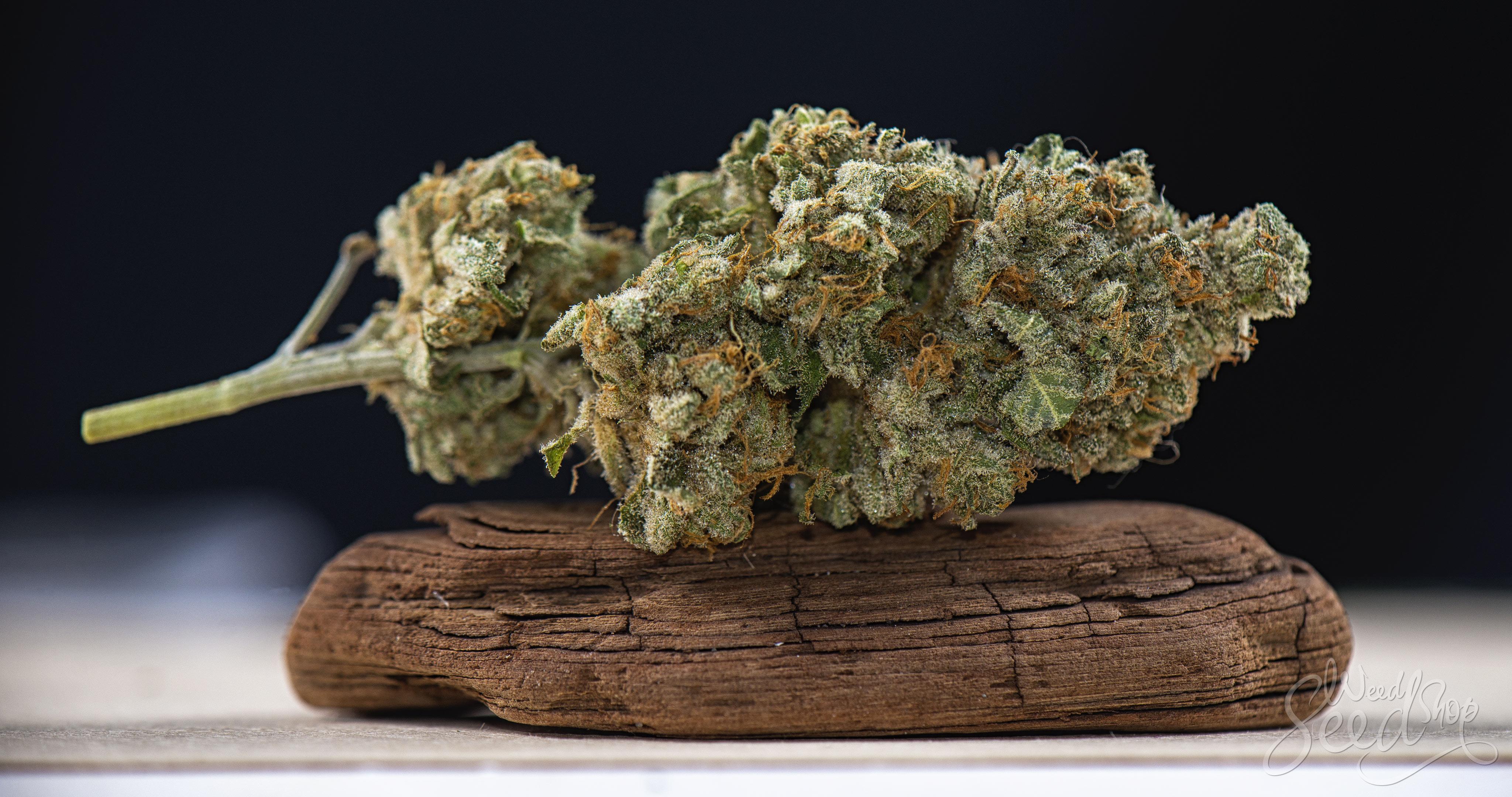 5 formas para rehidratar tu marihuana - WeedSeedShop