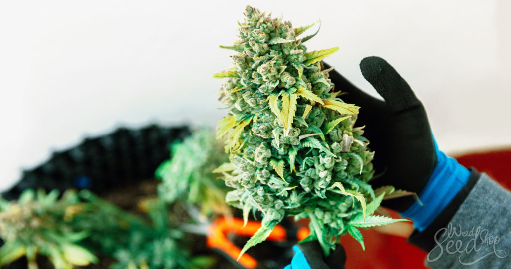 How to Use CO2 To Maximize Yields - WeedSeedShop