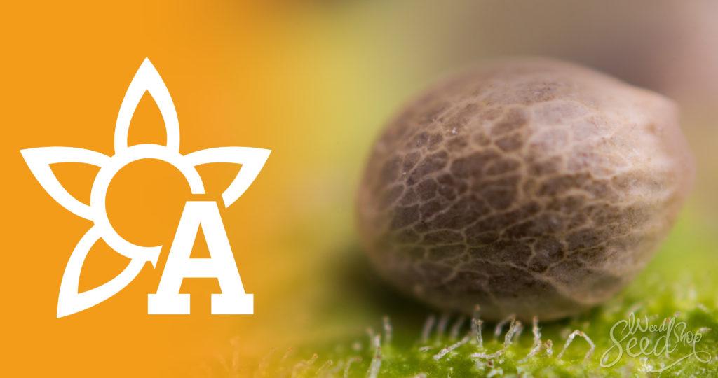 Qué son las semillas autoflorecientes - WeedSeedShop