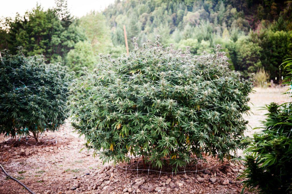 Die Beste Erde für den Cannabis-Anbau – WeedSeedShop