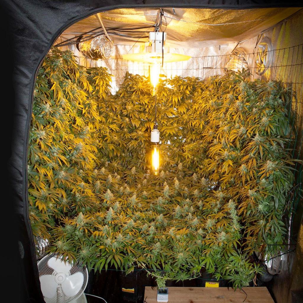 Comment cultiver la marijuana verticalement