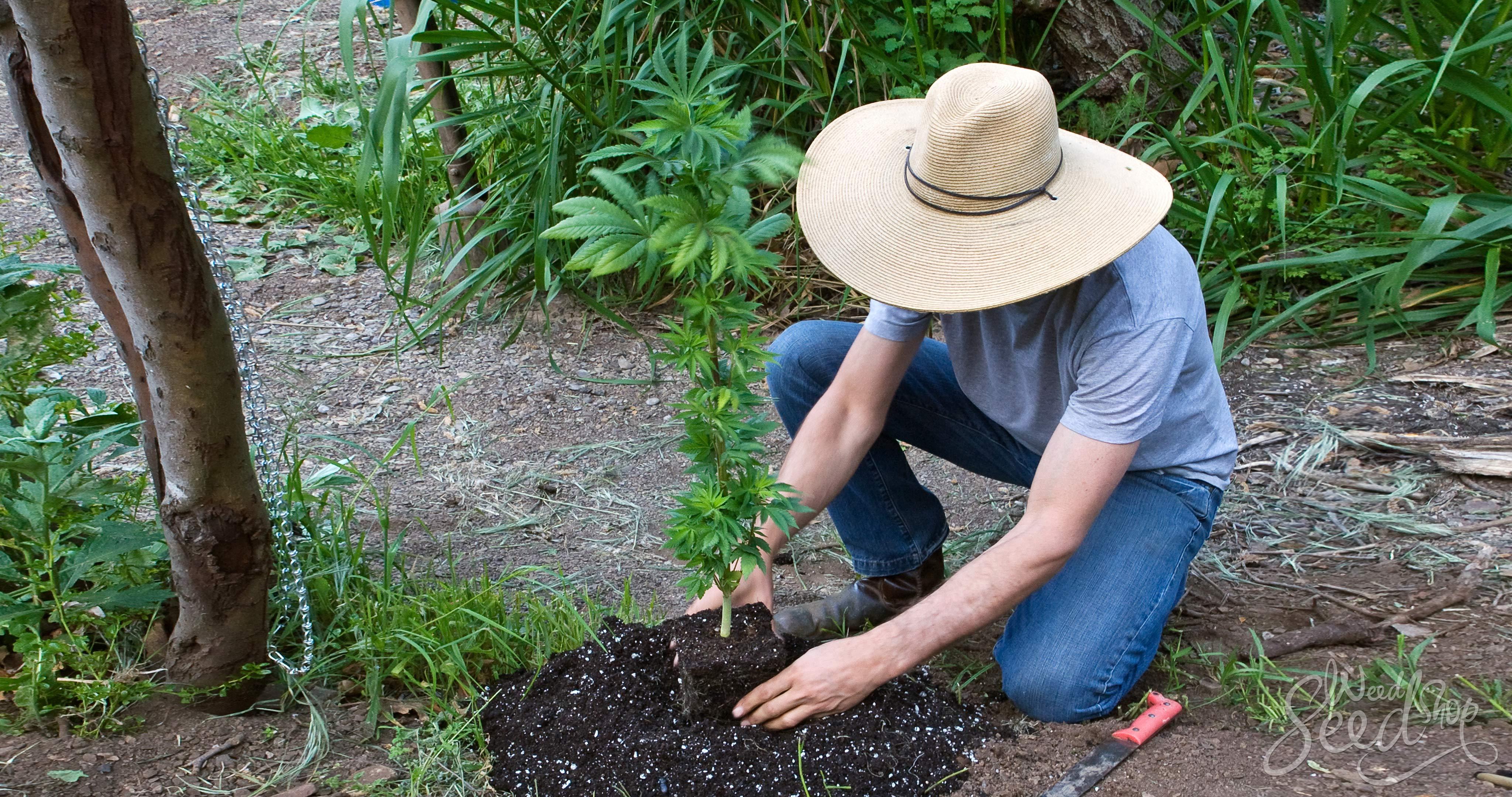 Cómo cultivar tu primera generación propia de planta híbrida de marihuana