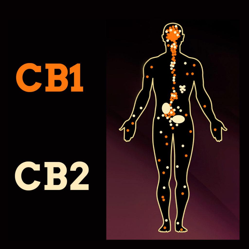 Cannabinoid-Rezeptoren