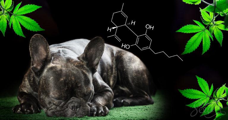 CBD voor huisdieren: werkt het en zo ja, hoe?