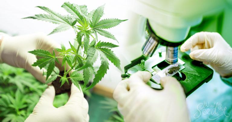Cannabis  Anatomie 101 – Delen van de plant