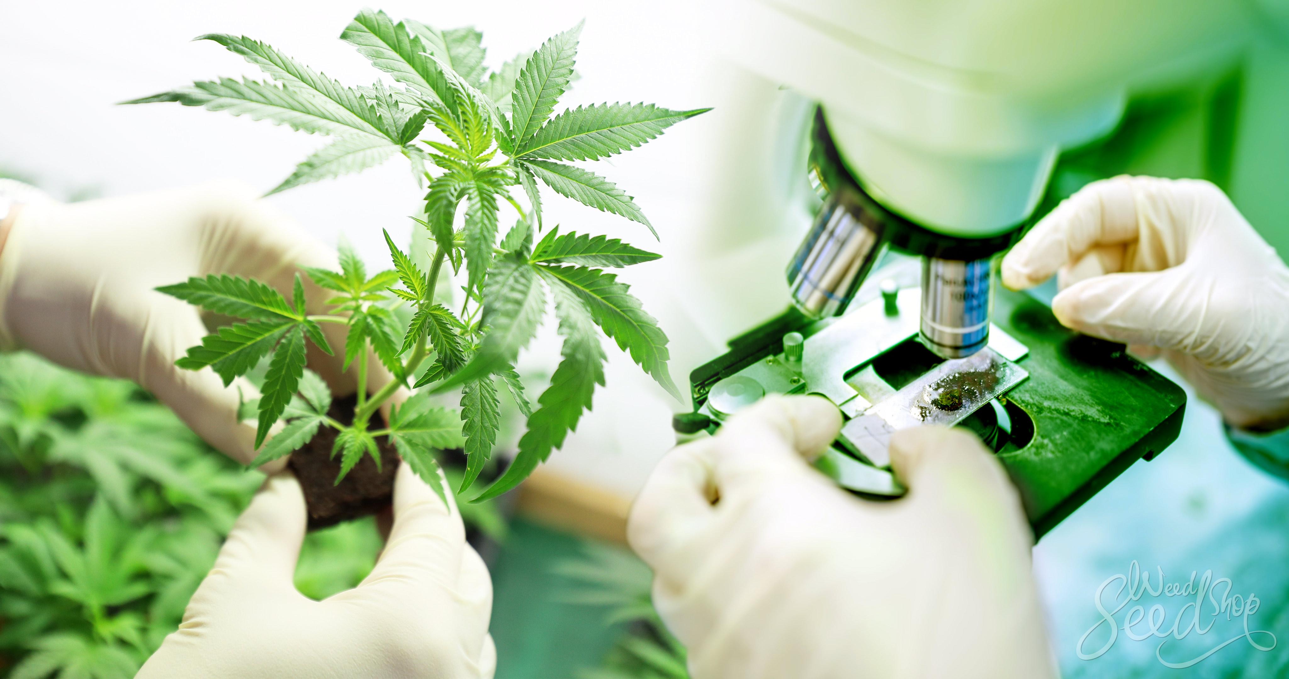 Cannabis Anatomie 101 - Delen van de plant - Weed Seed Shop Blog