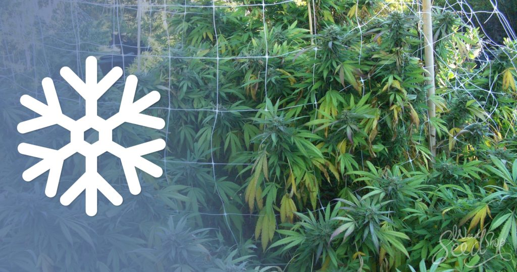 10 Tips for Growing Cannabis in Cold Climates - WeedSeedShop