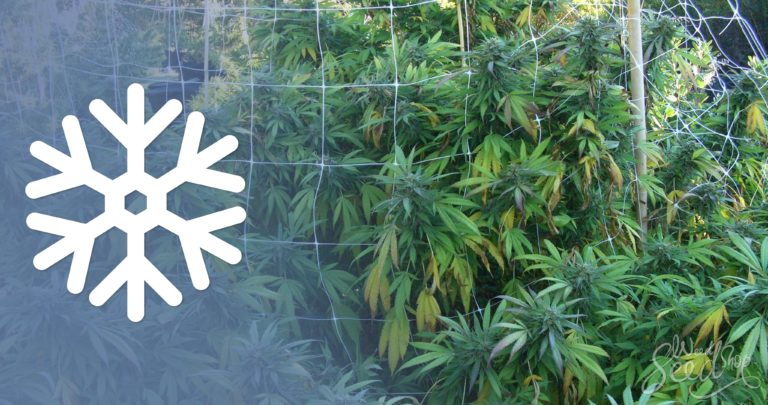 Top 10 Tips for Growing Cannabis in Cold Climates