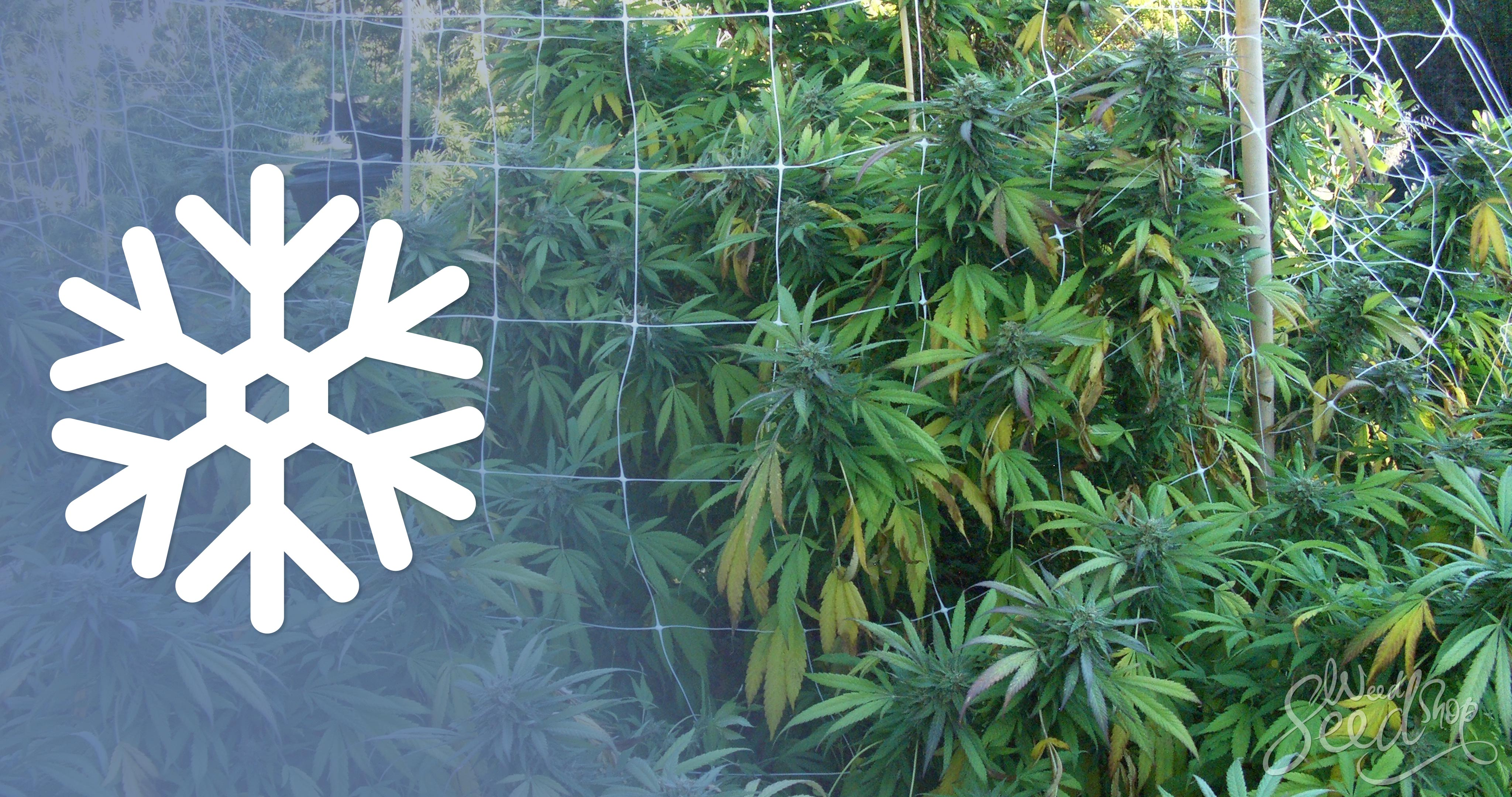 10 Tipps für den Cannabis-Anbau in der Kälte - WeedSeedShop
