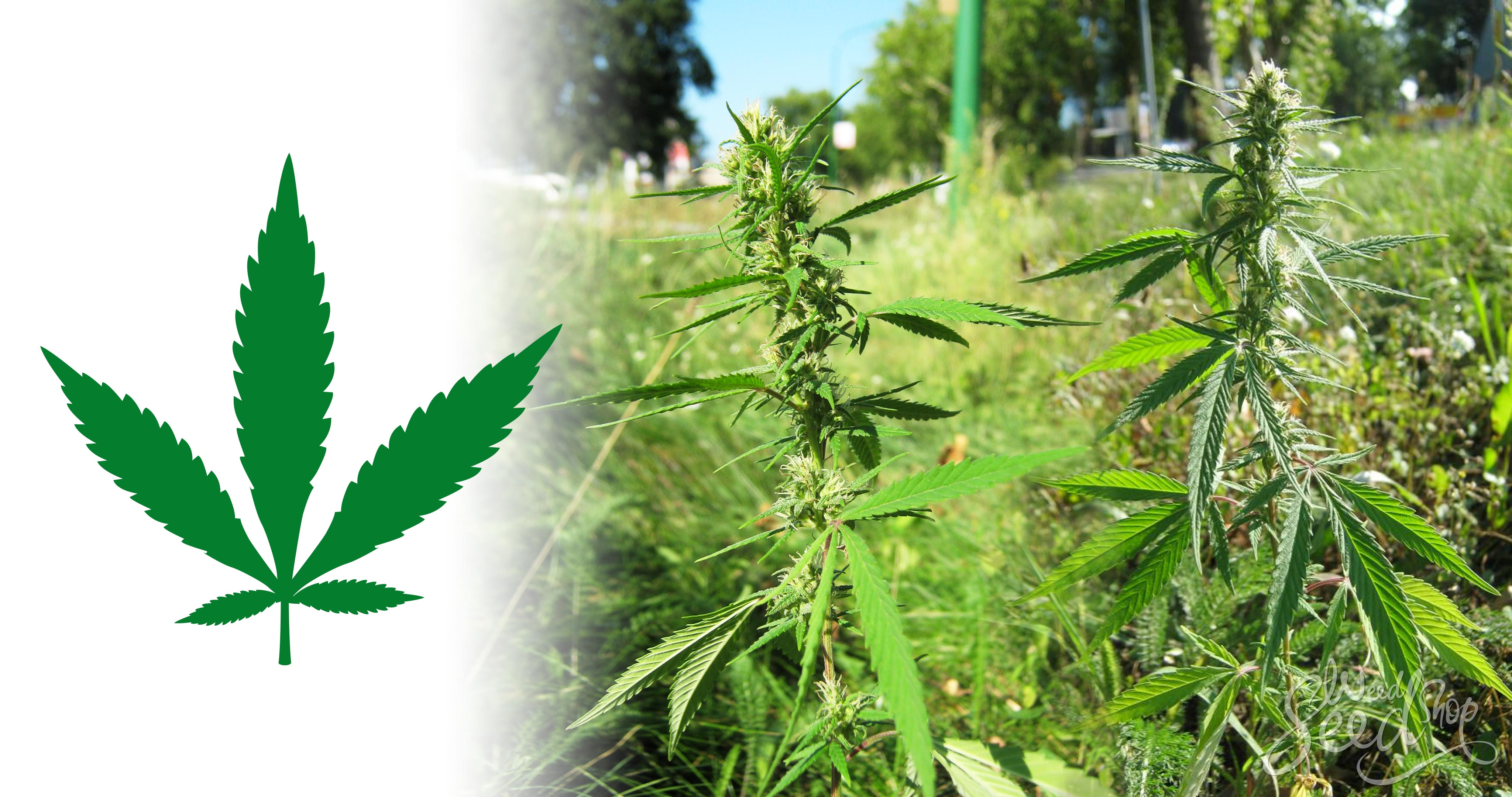 Cannabis Ruderalis : l'autre weed - WeedSeedShop