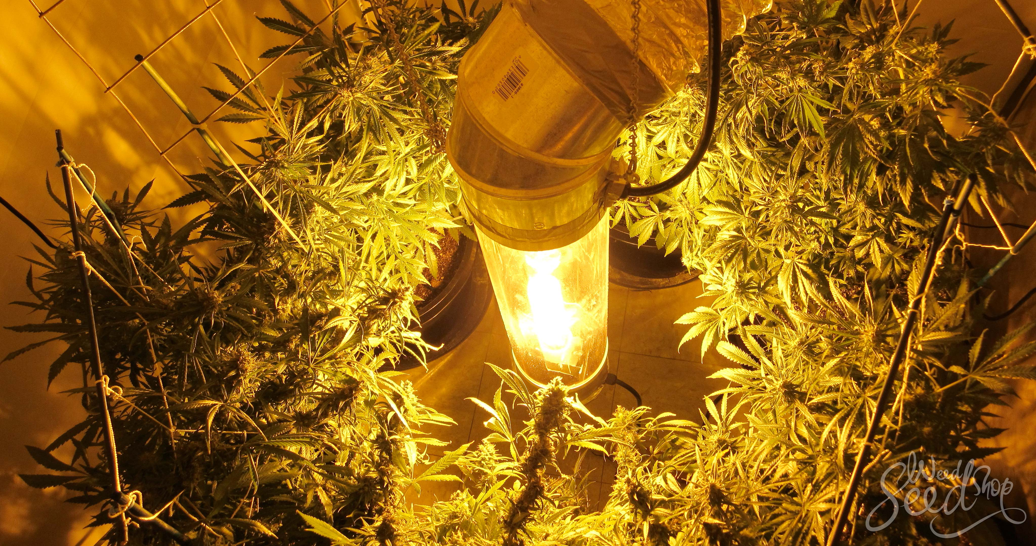 Comment cultiver la marijuana verticalement– Weed Seed Shop