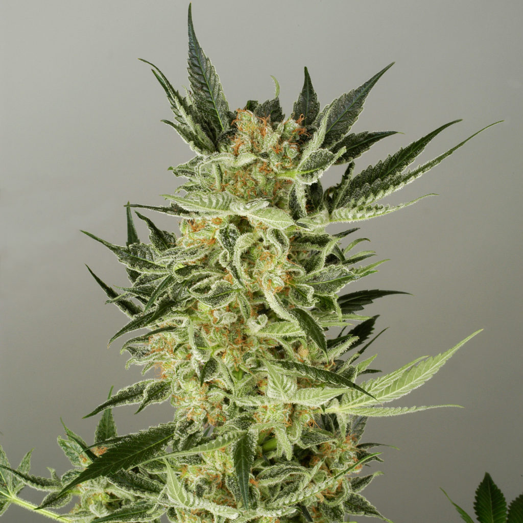 Macht dich Cannabis kreativer? - WeedSeedShop