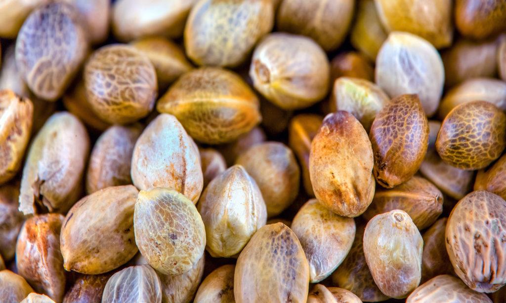¿Qué son las semillas de mota feminizadas?