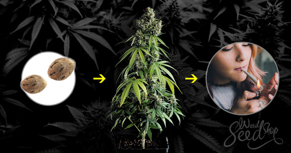 Desde la semilla hasta la marihuana - WeedSeedShop