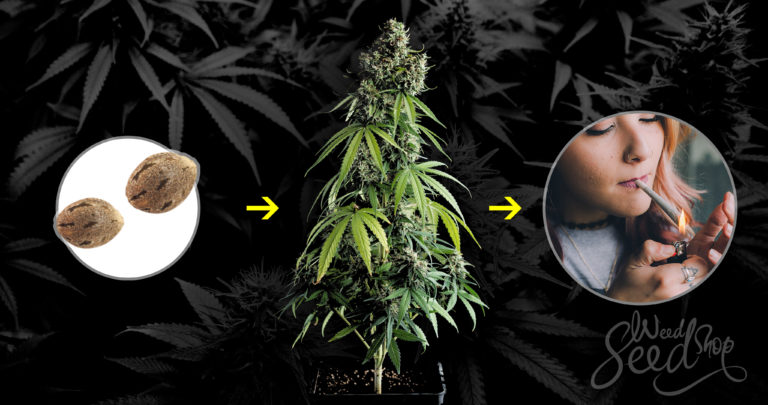 From Seed To Weed: What Goes Into Growing Cannabis?