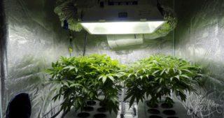 Comment masquer l'odeur quand vous cultivez le cannabis