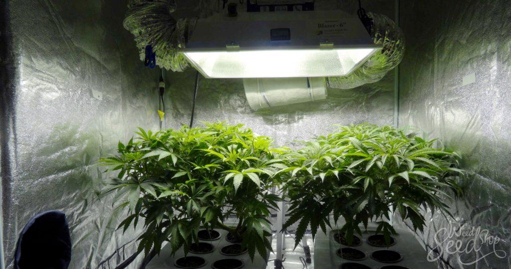 Wie kann man die Gerüche verbergen wenn man Cannabis anbaut