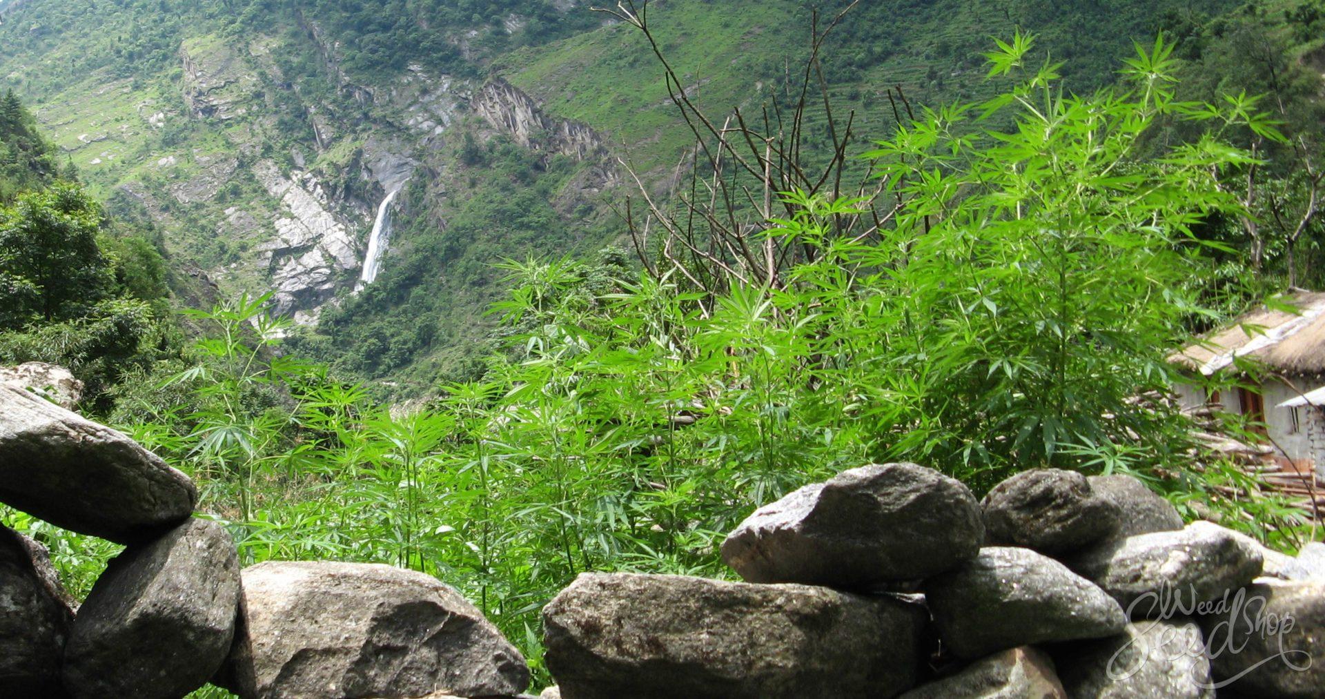 La weed locale des montagnes de l'Himalaya