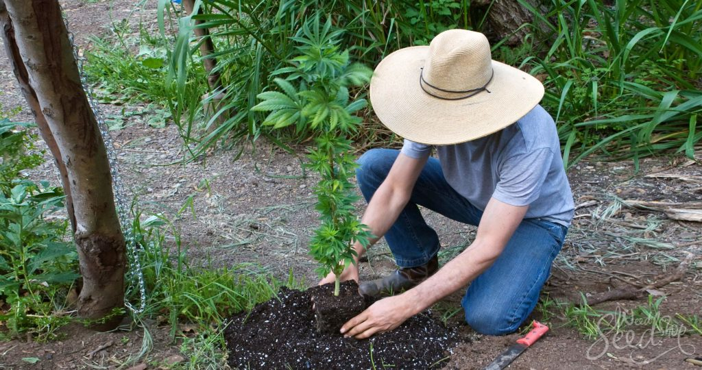 Hoe Kweek Je Je Eerste Generatie Hybride Wietplant
