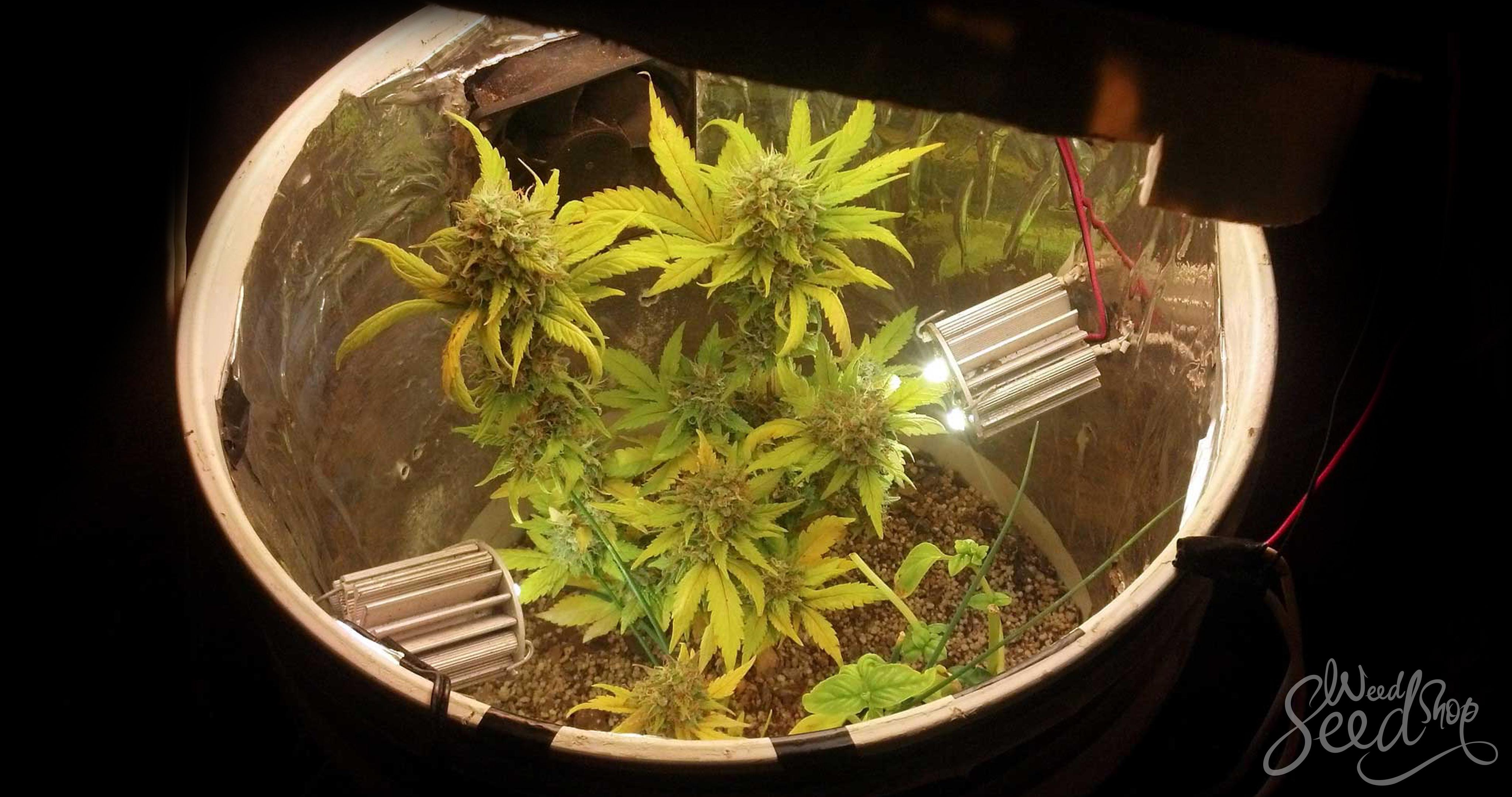 Wie du Weed in kleinen Räumen anbaust - WeedSeedShop Blog