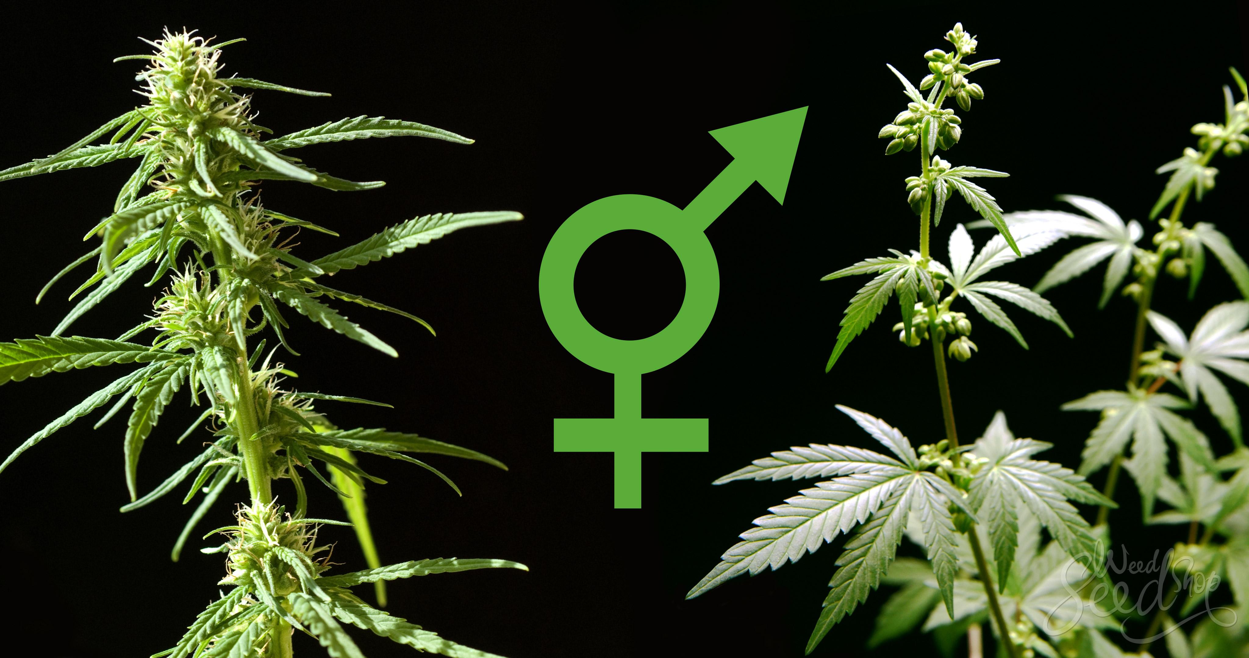 Cómo saber si tu planta de marihuana es femenina o masculina
