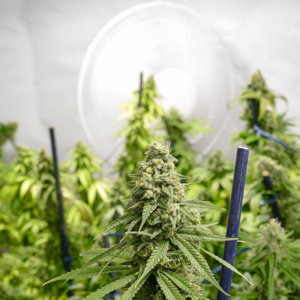 Wie du deinen Grow Room gut belüftest - WeedSeedShop