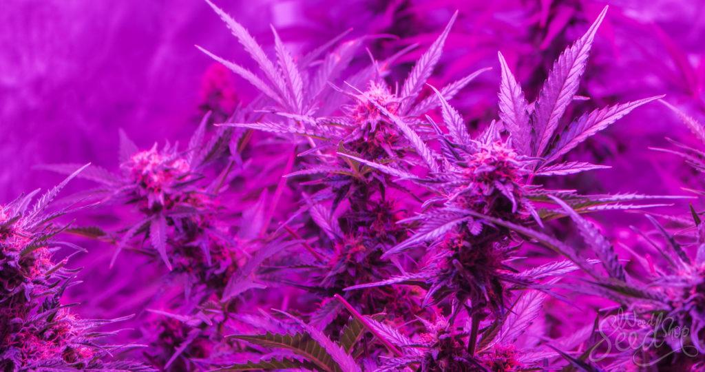 How the Light Spectrum Affects Cannabis - WeedSeedShop