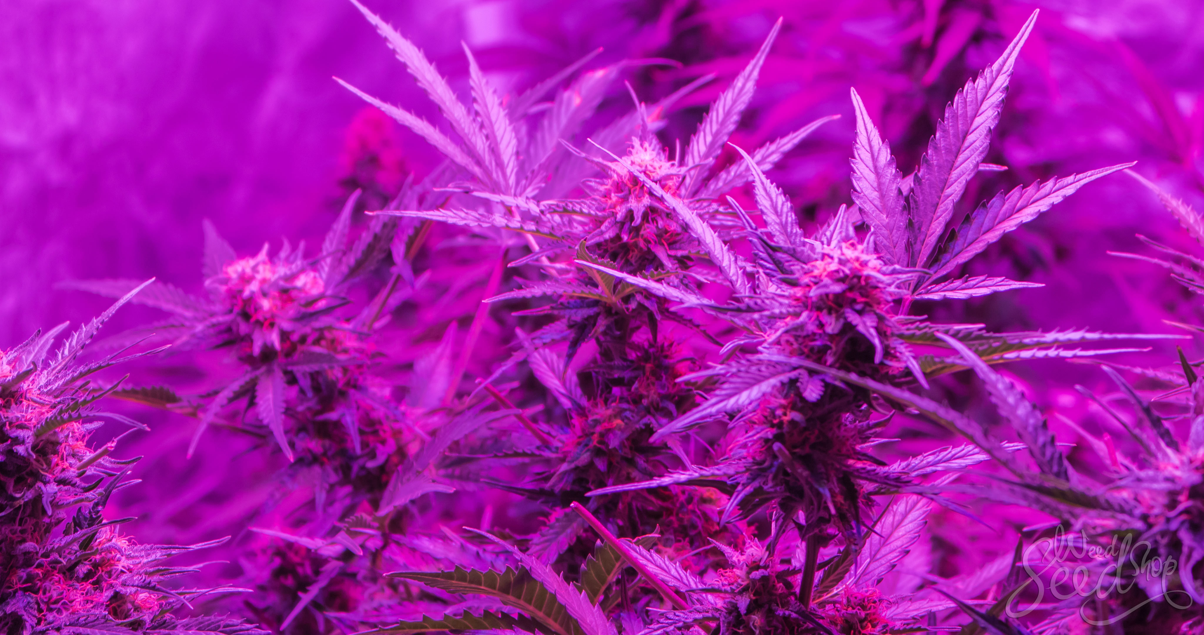 Wie das Lichtspektrum Cannabis beeinflusst - WeedSeedShop