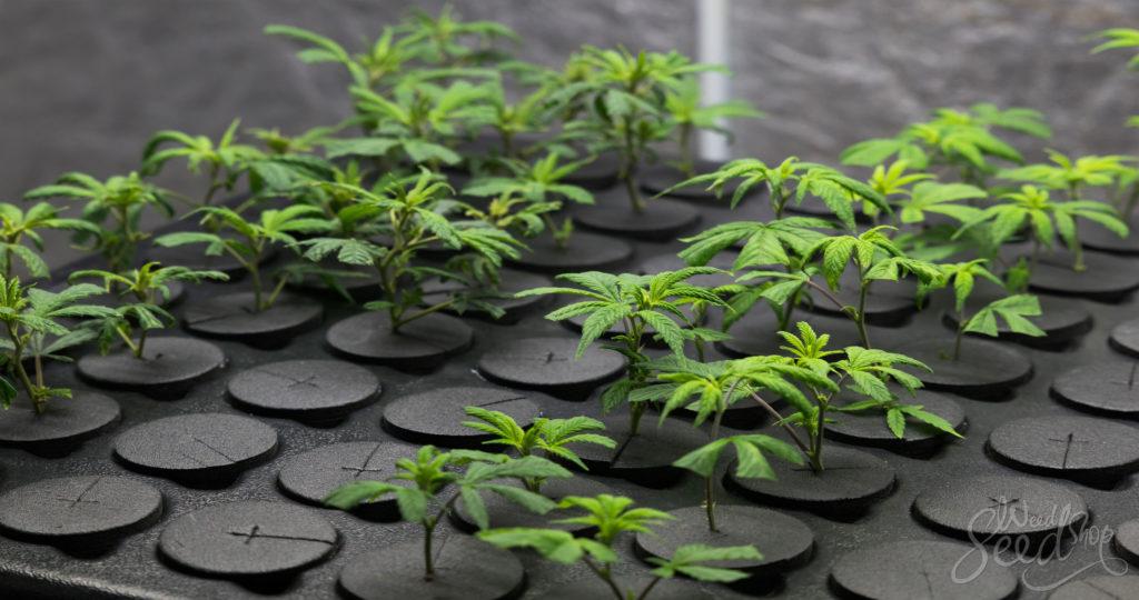 Wie man eine Cannabis Pflanze klont - WeedSeedShop