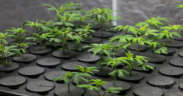 Wie man eine Cannabis Pflanze klont