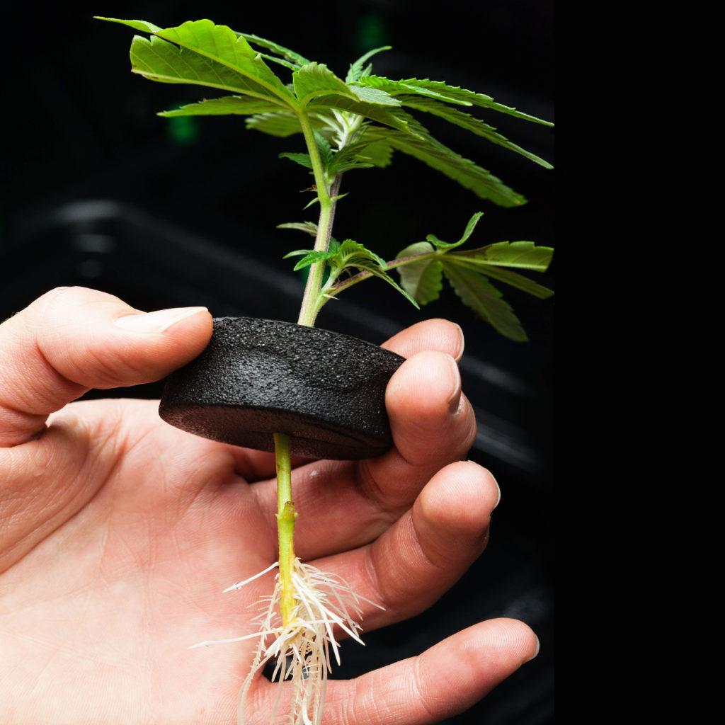 Cómo clonar una planta de cannabis - WeedSeedShop