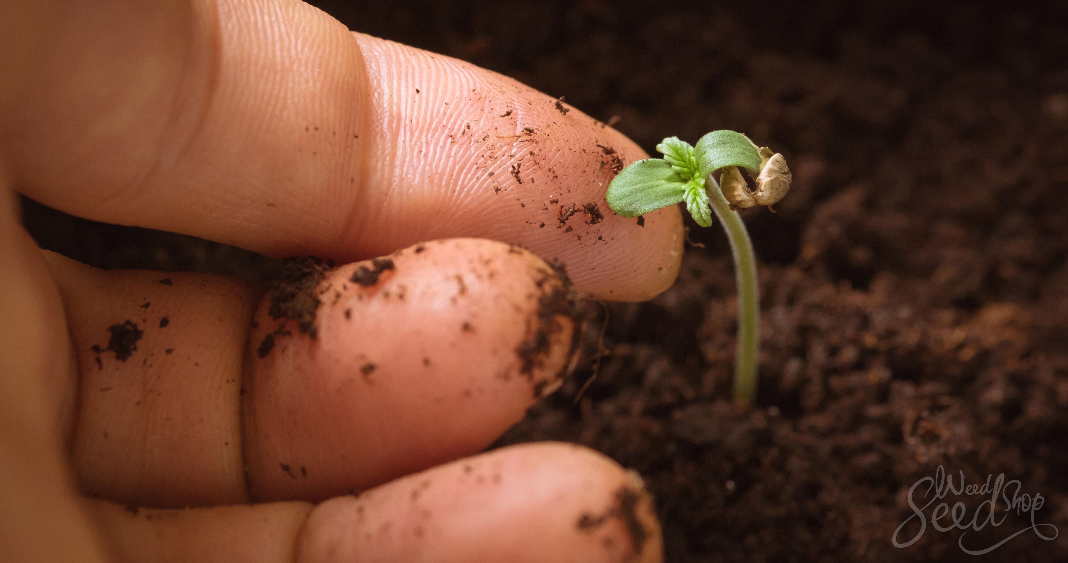 Comment faire pousser du super cannabis dans du sol recyclé organique vivant - WeedSeedShop Blog