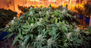 wann cannabis pflanzen zur bl te bringen weed seedshop. Black Bedroom Furniture Sets. Home Design Ideas