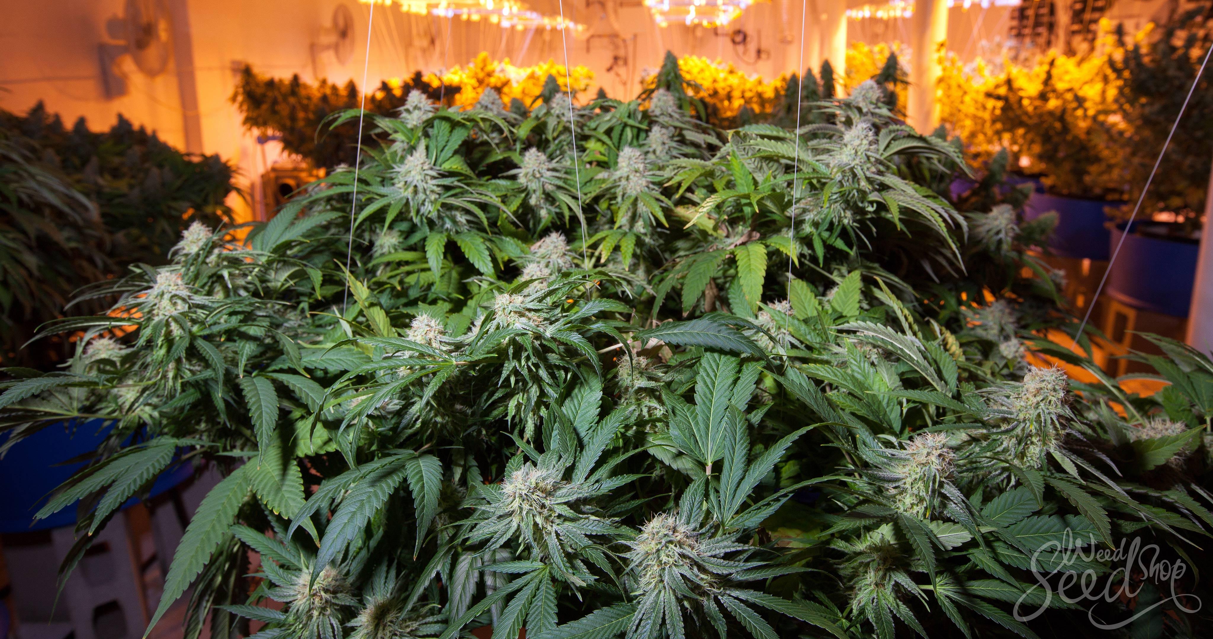 Wie man Gras so schnell wie möglich züchtet - WeedSeedShop