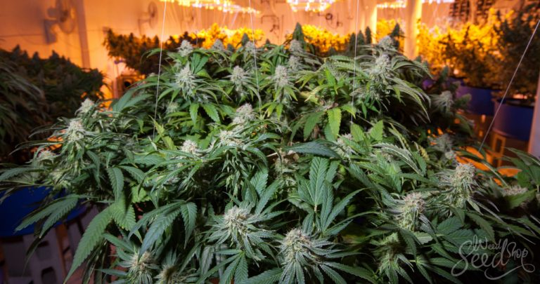 Fast Forward: How to Grow Weed as Fast as Possible