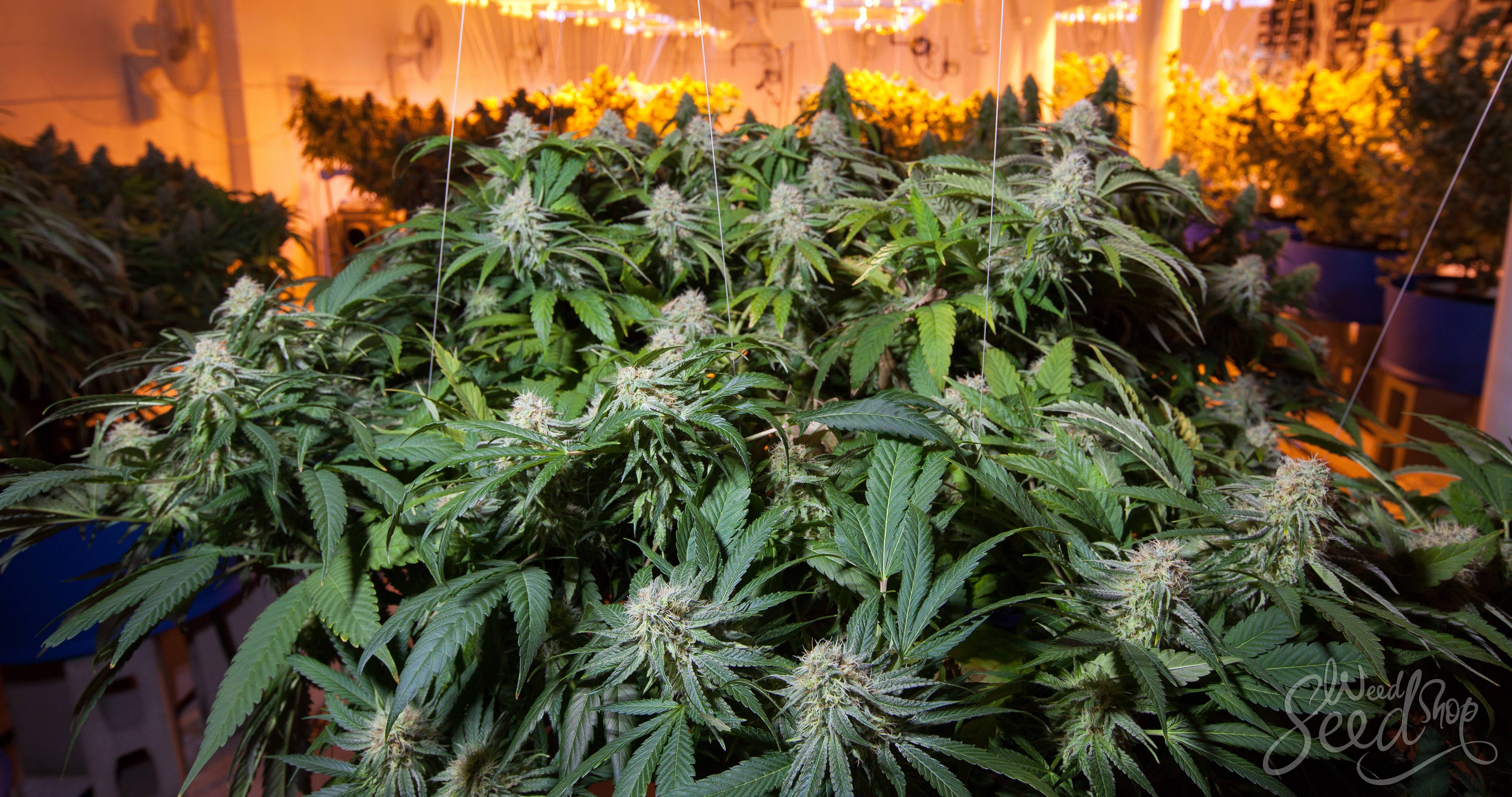 How to Grow Weed as Fast as Possible - WeedSeedShop
