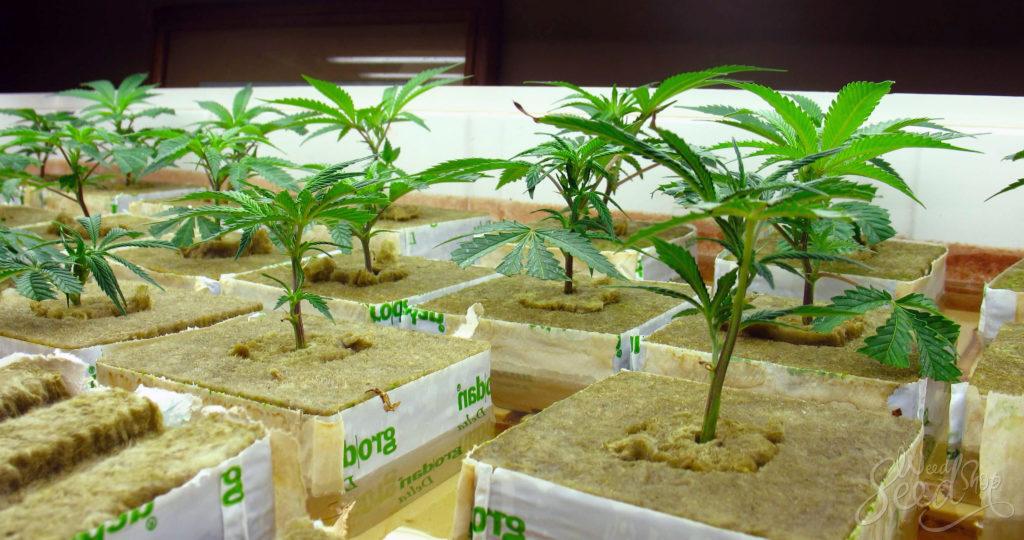Gras in einem hydroponischen System züchten - WeedSeedShop