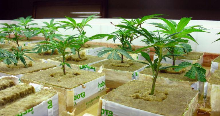 Wie man Gras in einem hydroponischen System züchtet