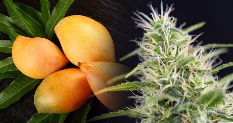 Intensiviere den Cannabiseffekt mit Mango