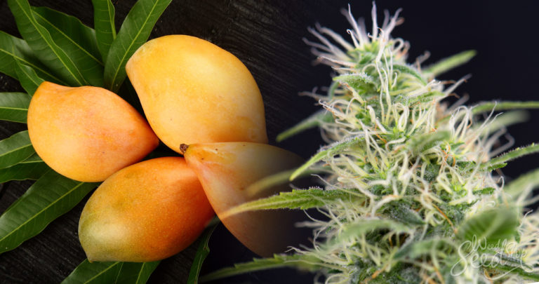 Enhance the Effects of Cannabis with Mango