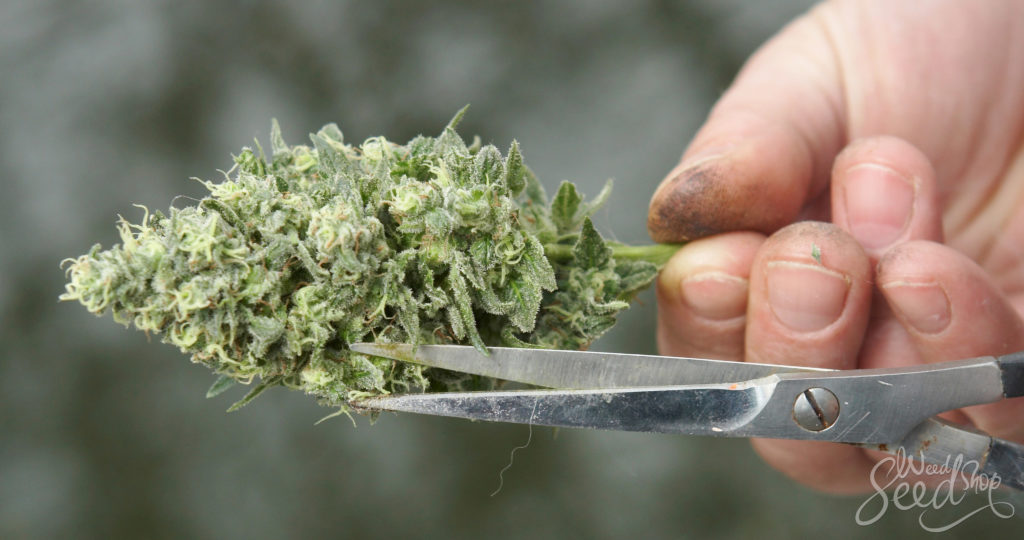 How To Properly Trim Your Weed - WeedSeedShop Blog
