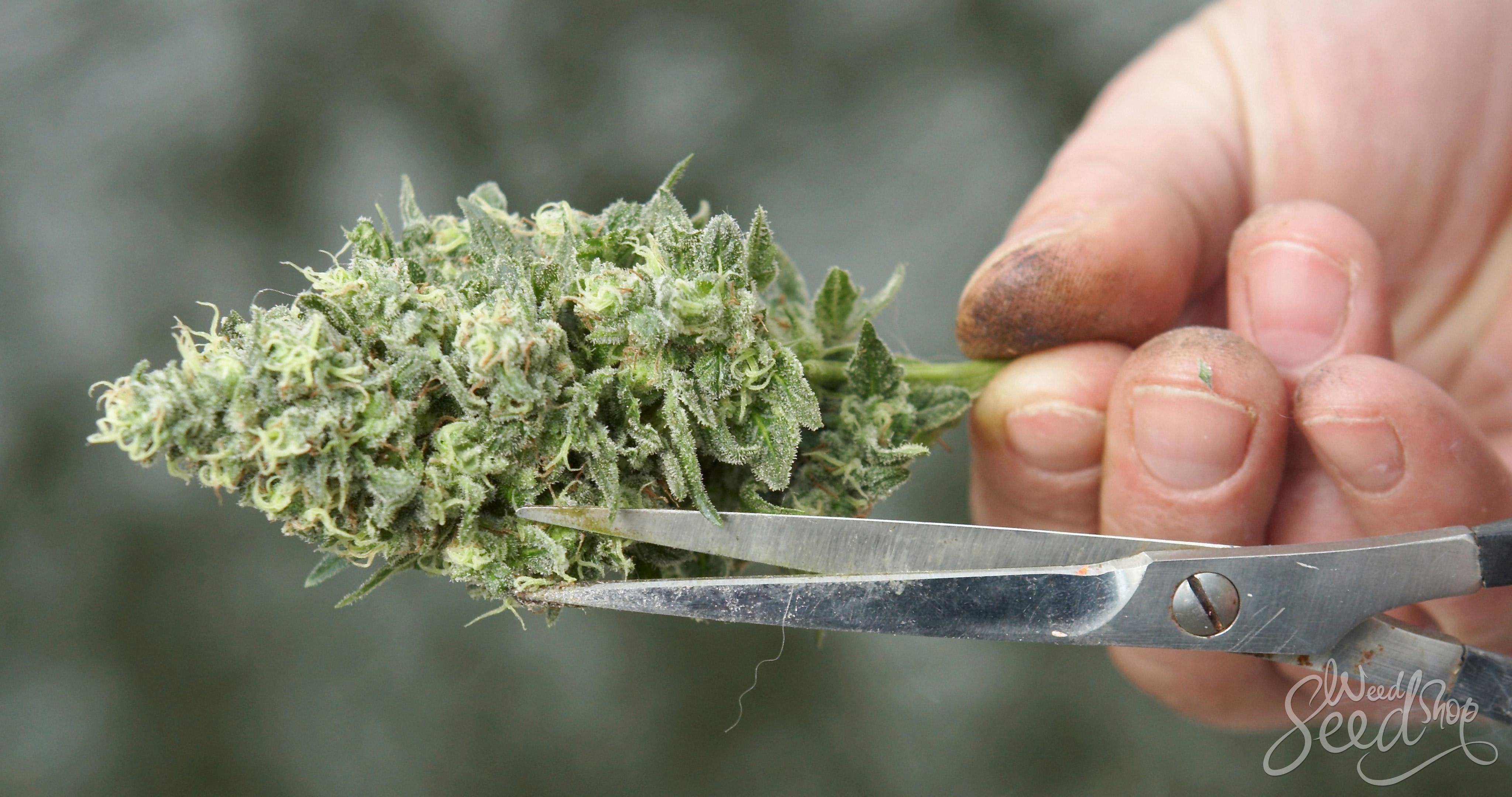 Comment bien tailler sa weed - WeedSeedShop Blog