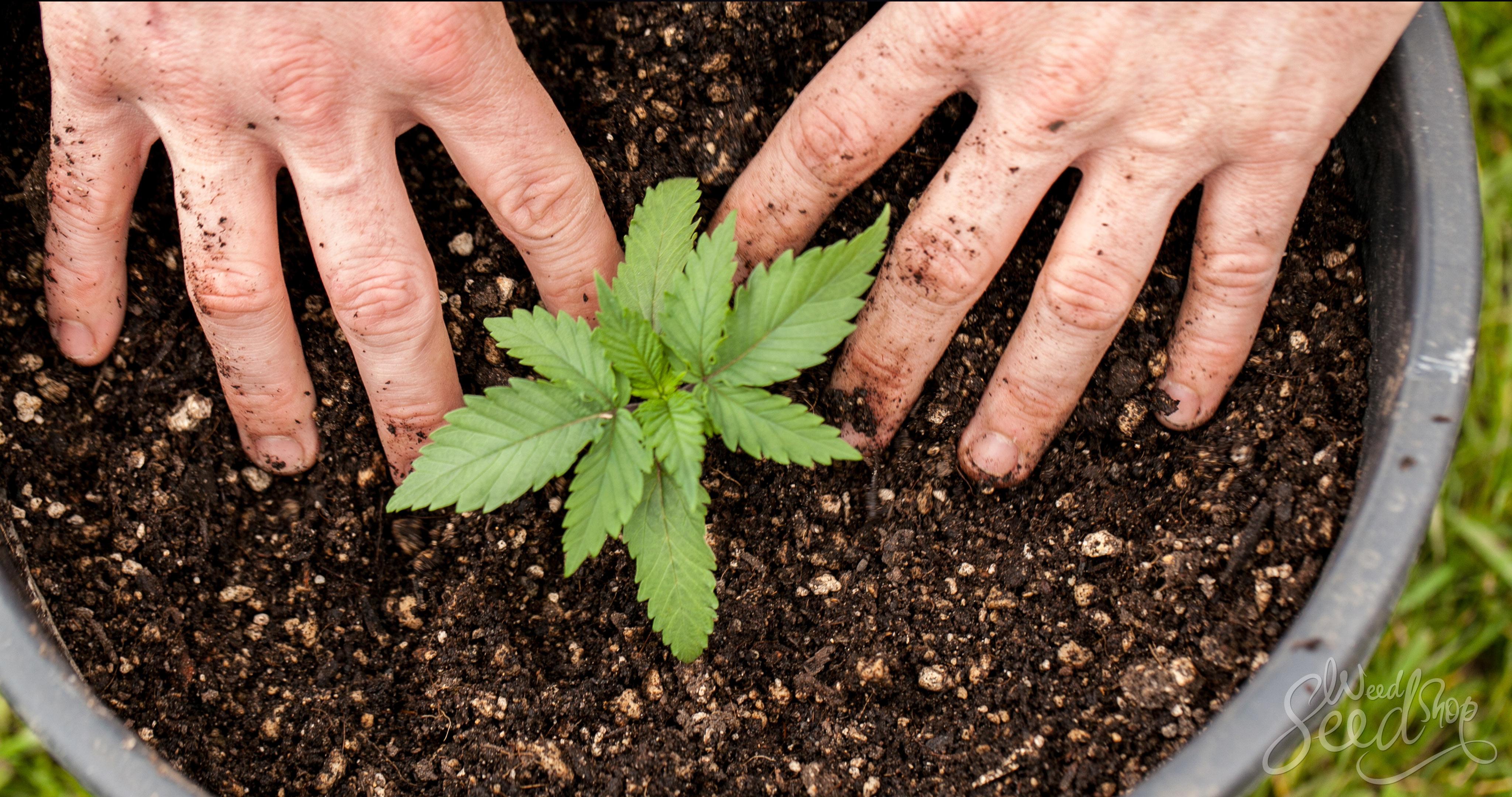 Wie man eine Marihuana-Pflanze umtopft