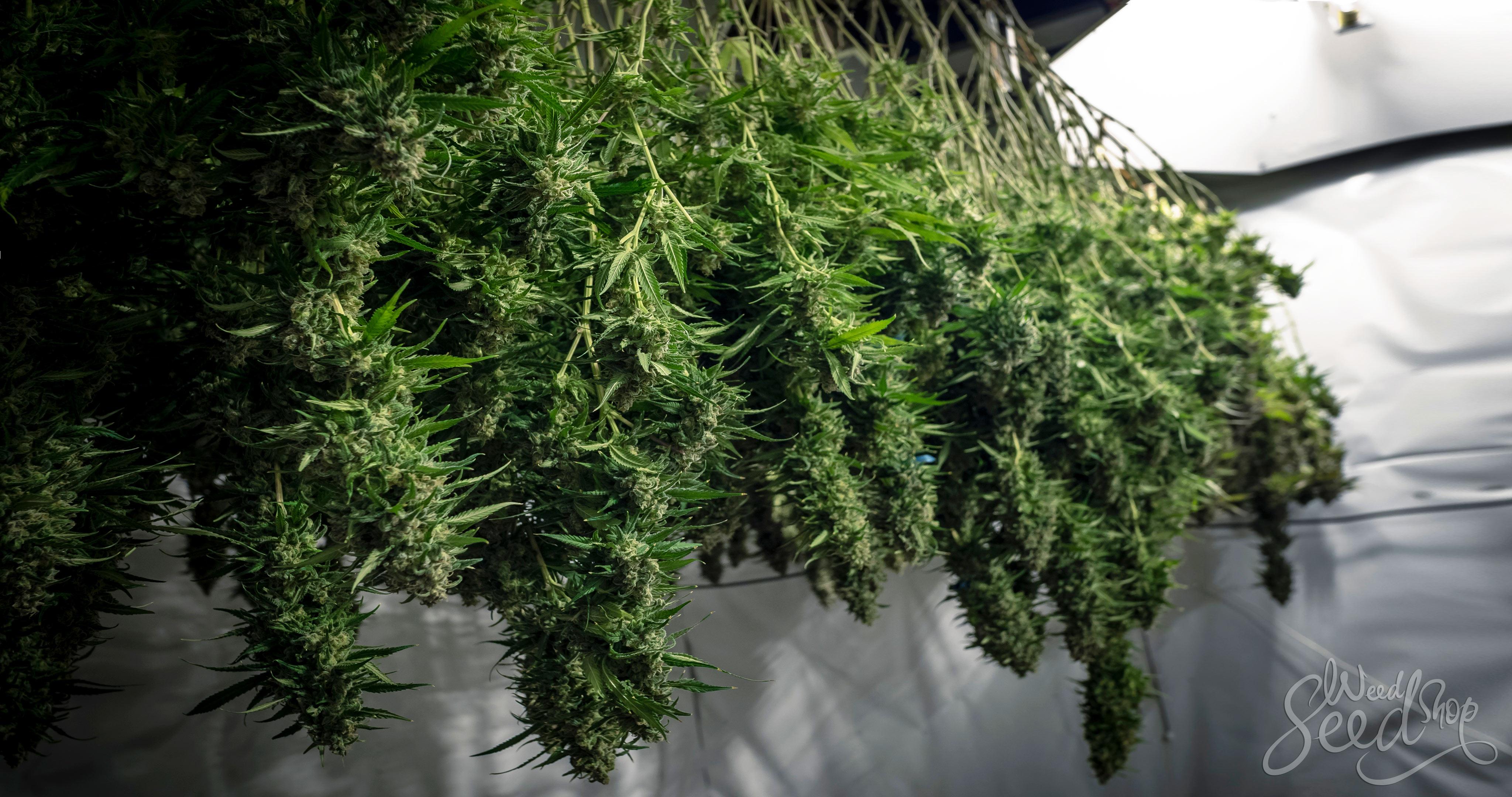 Cómo usar toda tu planta de cannabis - WeedSeedShop