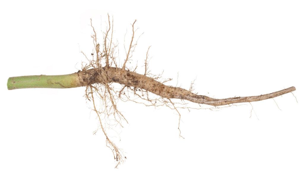 Hoe gebruik je je hele wietplant - WeedSeedShop